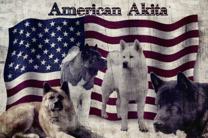 American Akita stiehlt Essen aus der Küche