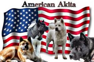 American Akita