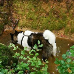 Gato at Lujoan – EIN Bare Mountain American Akita ohne Leine Meilensteine aus dem Anti Jagd Coaching für American Akita