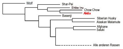 Der Verwandtschaftsgrad des American Akita mit dem Grauwolf