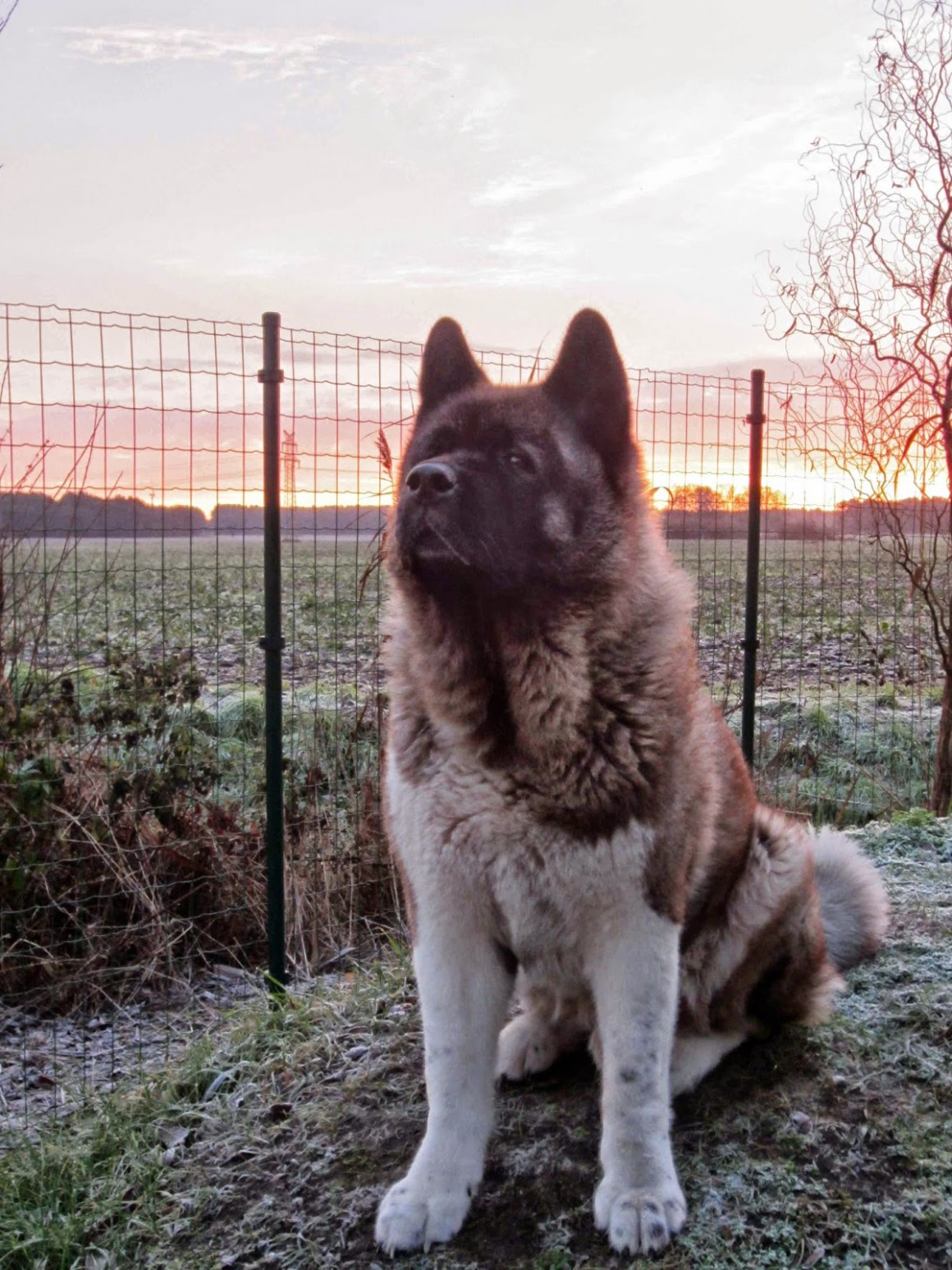 Die Bare Mountain American Akita Not Vermittlung